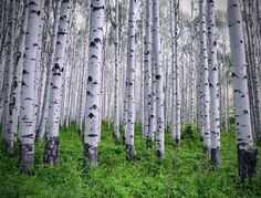 White Aspen trees, Colorado USA