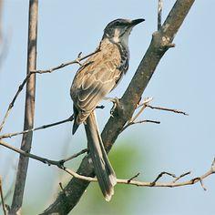 Bahama Mockingbird Mimus Gundlachii