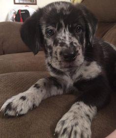 I want this dog so bad it hurts. Blue Heeler/Catahoula leopard dog mix.