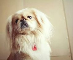 Majestic and cute-Pekingese