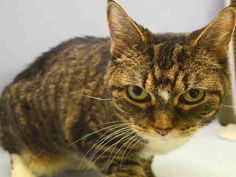 """CHELSEA - A1048114 - - Manhattan **TO BE DESTROYED 08/28/15** AVERAGE-RATED CHELSEA WILL BREAK YOUR HEART! This sweetie is 14 years old and she has lived with the same people for all that time. They bred her at home, they raised a beautiful girl, and on August 16th they walked away forever. Their favorite thing about Chelsea was """"the way she looks at them when they came home"""" and also, this rock star is very tolerant about dogs. You'll find yourself falli"""