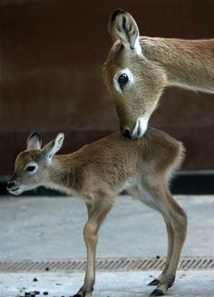 3 Day Old Antelope with Mama