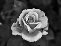 rose photography black and white Black And White Roses, Black And White Google, White Flowers, Exotic Flowers, Pinup Art, Rose Tattoos, Flower Tattoos, Rose Zeichnung Tattoo, Rose Fotografie