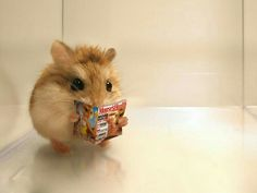 Me : Hamster , what are you doing ? Hamster : Be quiet , please ! I am seeing the news in the newspaper ! This news is so wonderful ! Baby Animals Pictures, Cute Animal Pictures, Animals And Pets, Bizarre Animals, Baby Animals Super Cute, Cute Little Animals, Cute Animal Memes, Cute Funny Animals, Funny Hamsters