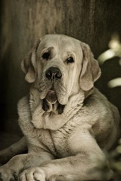 Spanish Mastiff-----oh how I love dogs :) Baby Dogs, Pet Dogs, Dogs And Puppies, Dog Cat, Pet Pet, Beautiful Dogs, Animals Beautiful, Cute Animals, Golden Retrievers