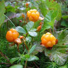 Cloudberries from Finland!