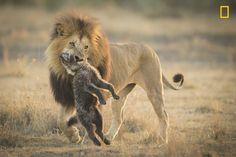 """""""Un león africano le da una lección a una manada de hienas por intentar robar su presa"""". (Aaron Baggenstos/Concurso Fotógrafo de Naturaleza del Año de National Geographic)"""