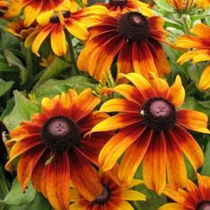 Image result for rudbeckia autumn forest