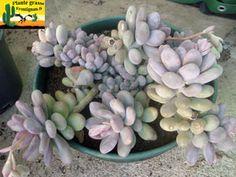 Pachyphytum Blue Haze