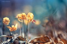 Trout Lilies II by Magda Bognar on 500px