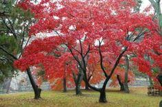 Myndaniðurstöður Google fyrir http://us.123rf.com/400wm/400/400/tito/tito0902/tito090200053/4257573-the-red-maple-trees-in-japanese-garden.jpg