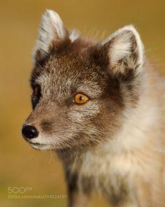 Arctic fox portrait by KBS_Norway via http://ift.tt/1U8h4lx