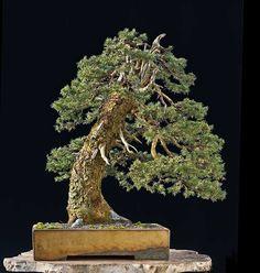 Noelanders Trophy 2015 European spruce, Picea abies