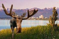 "Still, the one tonne mammals <a href=""https://www.youtube.com/watch?v=8mVcEzaa6B0"">regularly make their way downtown</a>, wreaking <a href=""http://www.adn.com/article/our-alaska-moose-goes-postal"">havoc on local infrastructure</a>"