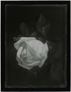 Josef Sudek   Rose, 1967