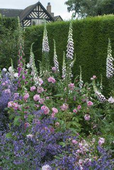 Gertrude Jekyll & Nepeta 'Six Hills Giant' #DavidAustin #GardenRoses
