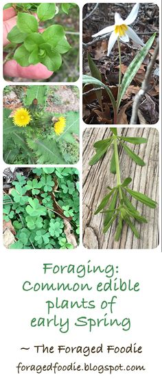 Foraging with the Foraged Foodie: Common edible plants of early spring. Chickweed, sorrel, trout lily, cleavers and more!