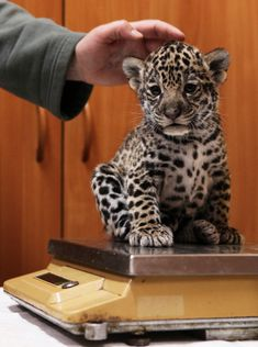 Employee Christina Kosorygina weighs a one-month-old jaguar cub at Leningrad city zoo in St. Black male jaguar Rock and spotted female jaguar Agnessa had three jaguars cubs - two spotted and one black - on March 15 2011 Cute Baby Animals, Animals And Pets, Funny Animals, Wild Animals, Big Cats, Cute Cats, Cats And Kittens, Beautiful Cats, Animals Beautiful