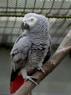 Congo African Grey Parrot - Flickr - Photo Sharing!
