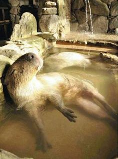 日本のカピパラは温泉に入るよー。