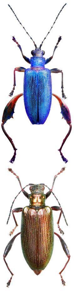 Donacia crassipes different colors