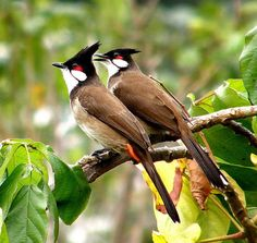 Red-whiskered Bulbul | Red-whiskered Bulbul (Pycnonotus jocosus) a couple perching