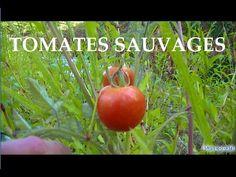 Champs de tomates sauvages au milieu d'une rivière étonnant ! - YouTube