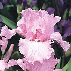Beverly Sills Reblooming Iris in Pink