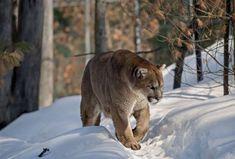 cougar, Puma concolor, mountain lion