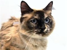NORA – 19637 – Age: 5 years  Sex: Female –  Super Urgent Shelter Cats  These animals are either high risk, injured or have previously appeared on the To Be Destroyed list and survived. They are in danger of being on the list again or destroyed without any further notice.