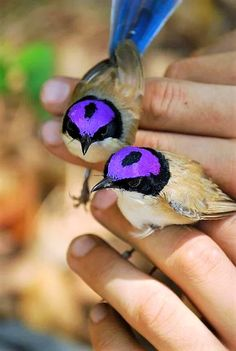 Puple Crowned Fairywren (Malurus coronatus) is a species of bird in the Maluridae family.