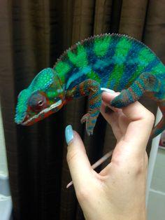 Lizards, Reptiles, Chameleon Pet, Masters, Butterflies, Birthdays, Colorful, Pets, Videos