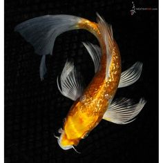 Koi Fish Drawing, Fish Drawings, Pretty Fish, Beautiful Fish, Coi Fish, Butterfly Koi, Acrylic Art, Ponds, Ui Design