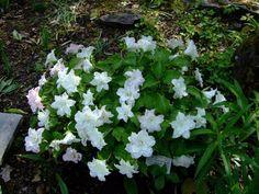 """Trillium grandiflorum """"Flore Plena"""""""