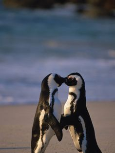 African Penguins Showing Affection by Stuart Westmoreland. Photographic print from Art.com.