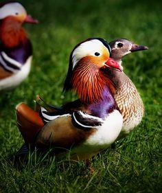 Mandarina Duck by Richard Beresford Harris