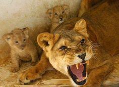 Resultado de imagem para leoa defendendo seus filhotes, no pinterest