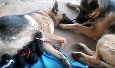 Father Dog Takes Care Of Exhausted Mom After She Gave Birth To Their Puppies - Picterest Female German Shepherd, German Shepherd Dogs, German Shepherds, Dog Hives, Little Puppies, New Puppy, Dog Behavior, Dog Training Tips, Animals Beautiful