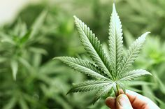 米国疾病管理予防センターCDCによると 大麻の過剰投与による死者数は 0名