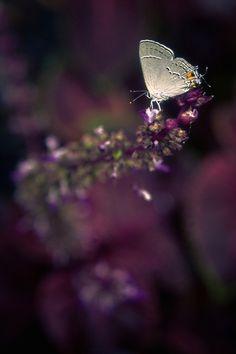 Insecta mirabilis – Gray Hairstreak (Strymon melinus) on purple flowers