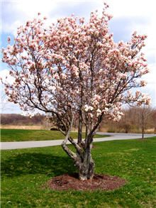 Jane Magnolia on Fast Growing Trees Nursery, zone grows Magnolia Trees For Sale, Jane Magnolia Tree, Saucer Magnolia Tree, Trees And Shrubs, Flowering Trees, Dwarf Trees, Low Maintenance Shrubs, Fast Growing Trees, Growing Plants