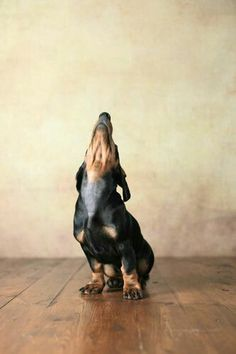 Is your dog not listening to you? Or do you not know exactly how to properly connect with your pet? Time to find out the IN and OUT on dog training! Love My Dog, Dachshund Love, Daschund, Dapple Dachshund, Dachshund Puppies, Miniature Dachshunds, Easiest Dogs To Train, Weenie Dogs, Doggies