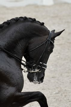 dressage looks so beautiful. too bad i can't stoked to do it. Pretty Horses, Horse Love, Beautiful Horses, Animals Beautiful, Beautiful Things, Dressage Horses, Friesian Horse, Horse Braiding, Horse Pictures