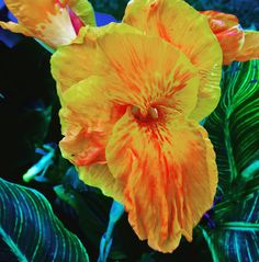 Bengal tiger canna lily Canna Flower, Canna Lily, Bengal Tiger, Lilies, Garden Plants, Gardens, Yard, Pretty, Flowers