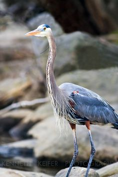 Great Blue Heron - saw one of these fishing at the bottom of upper Multnomah Falls, 9/27/14