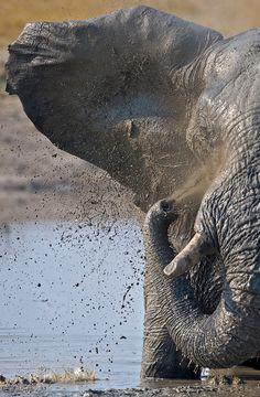 "Elephant: ""Savuti bull bath time"" by Marc MOL Elephant Bath, Bull Elephant, Elephant Love, Elephant Stuff, Elephants Never Forget, Save The Elephants, Beautiful Creatures, Animals Beautiful, Cute Animals"