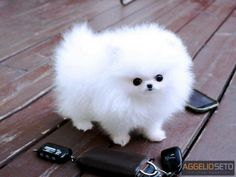 5 Interesting Facts about Pomeranian. My next pet. .
