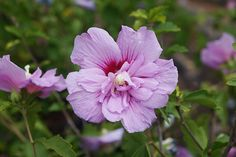 Buy tree hollyhock Hibiscus syriacus 'Lavender Chiffon ('Notwoodone') (PBR)': Delivery by Waitrose Garden in association with Crocus