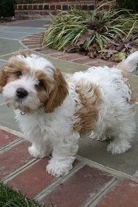 Gleneden Cavachon breeds beautiful & healthy Cavachon puppies, from Cavalier King Charles Spaniels & Bichon Frise parents as well as Cavanese puppies, from Cavalier King Charles Spaniel & Havanese parents. Cute Baby Puppies, Super Cute Puppies, Cute Dogs And Puppies, Cute Baby Animals, Mini Dogs Breeds, Miniature Dog Breeds, Cavachon Puppies, Havanese, Mini Cockapoo