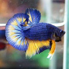 Live Betta Fish Male Fancy Blue Mustard Hawk Big Blue Rim Halfmoon Plakat HMPK